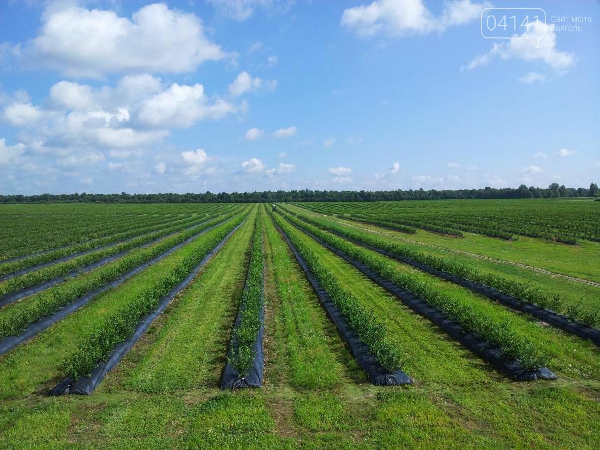Найбільший урожай лохини на Житомирщині зібрали у Новоград-Волинському районі, фото-1