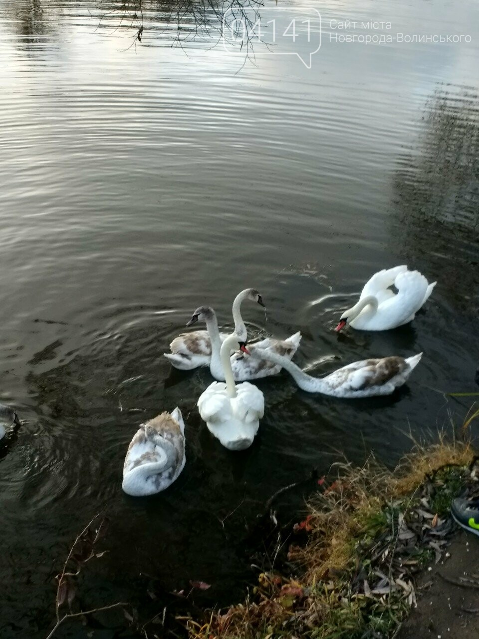 У Новограді на річці Случ проживає родина лебедів (ФОТО, ВІДЕО), фото-1