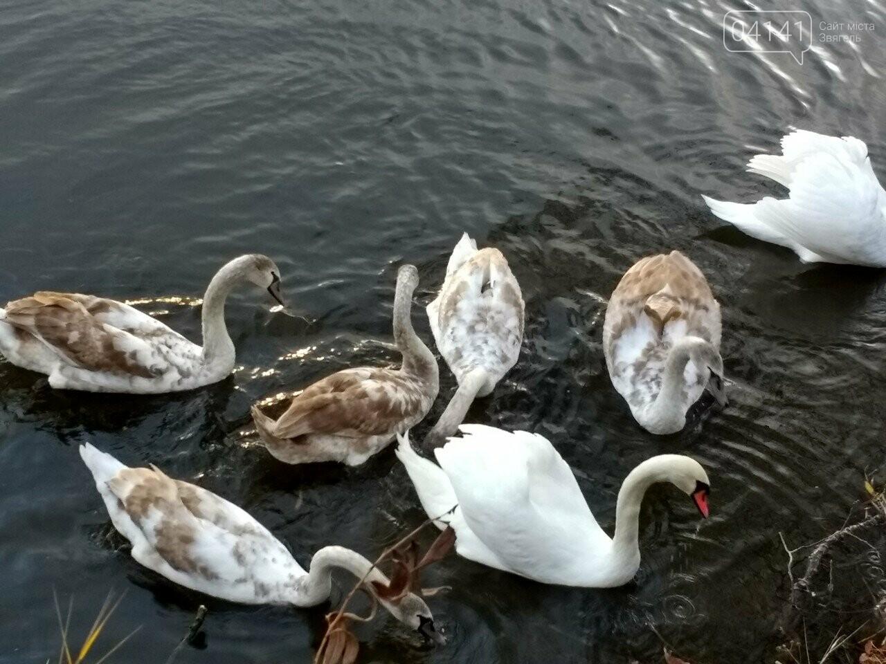 У Новограді на річці Случ проживає родина лебедів (ФОТО, ВІДЕО), фото-2