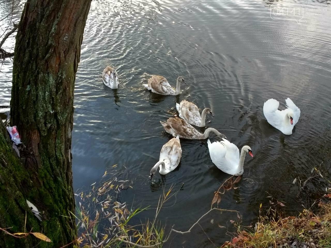 У Новограді на річці Случ проживає родина лебедів (ФОТО, ВІДЕО), фото-3