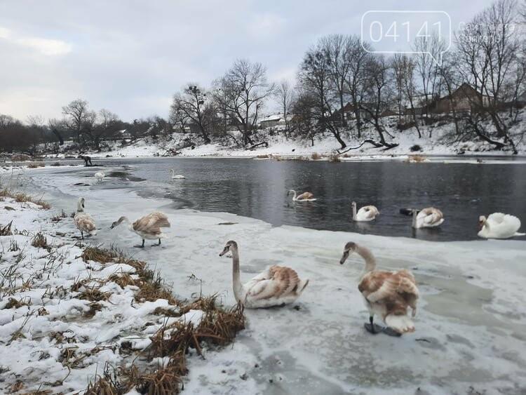 Як почуваються лебеді на річці Случ в Новограді-Волинському (ФОТО), фото-4